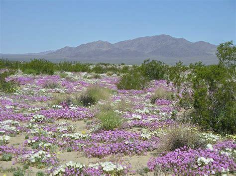 desert flowers california desert flowers southwestdesertlover
