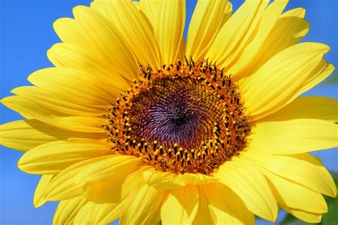 free photo sun flower sunflower flowers free image on