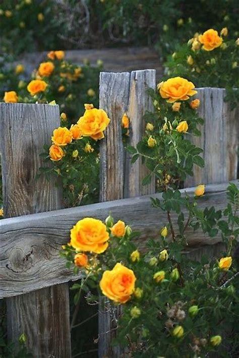 Climbing Yellow climbing yellow roses plants gardens