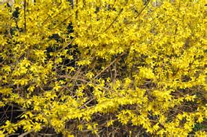 file forsythia bush jpg wikipedia