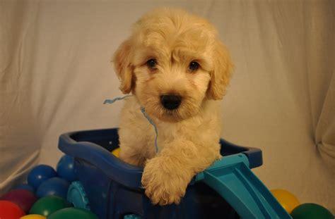 goldendoodle puppy atlanta f1b f2b f3 miniature medium standard goldendoodle