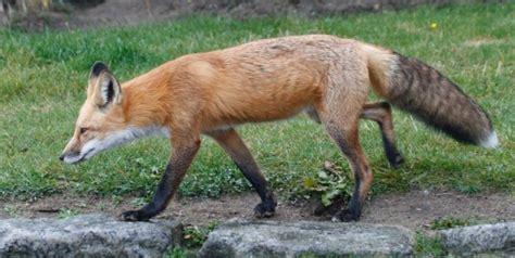 red fox in backyard visitors in my yard saranac lake adirondacks