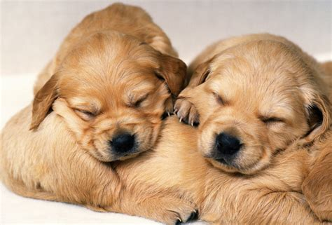 how to get a puppy to sleep through the how to make a sleep pets world