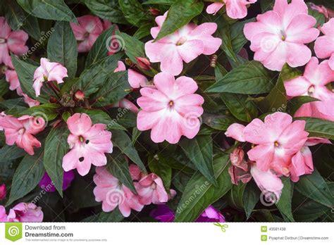 fiore nuova guinea fiore di impatiens della nuova guinea fotografia stock