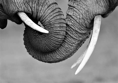 black and white elephant wallpaper free elephant black and white wallpaper background 171 long