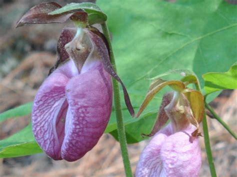 purple slipper orchid purple slipper orchid 28 images mygift 174 purple silk