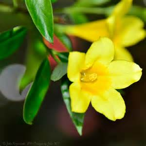 carolina flower yellow jessamine state symbols usa
