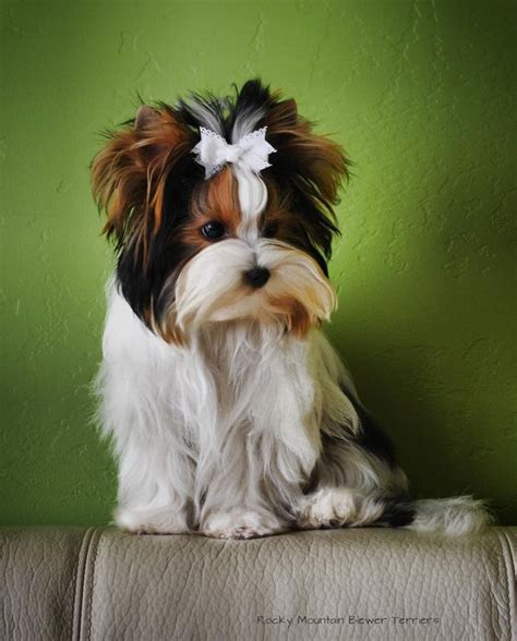 can a yorkie have floppy ears 280 best images about yorkies on pinterest yorkie