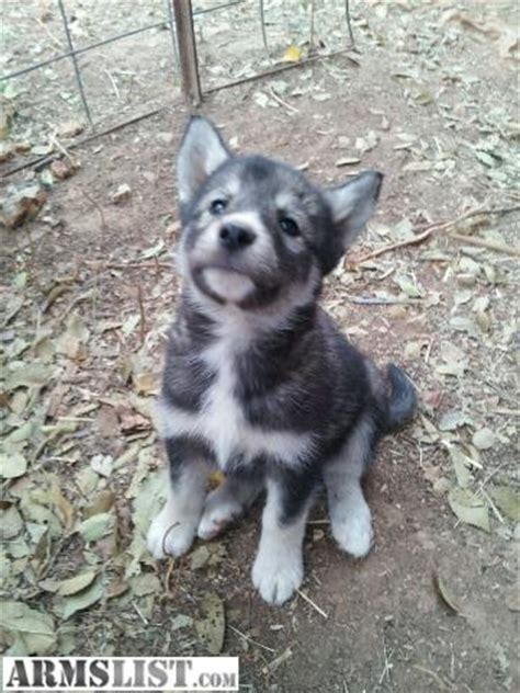 husky mix puppies for sale husky wolf mix puppies for sale quotes