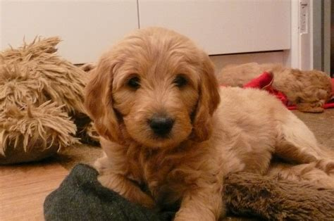 Goldendoodle F1b Miniature Puppies For Sale Nottingham