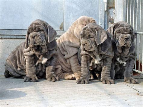 napoleon mastiff puppies neapolitan mastiff puppies pooches um large and puppys
