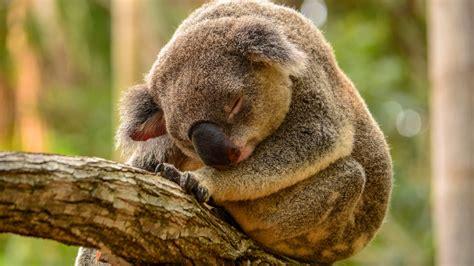 Koala Schlaf Im Baum Hintergrundbilder 1920x1080 Hd