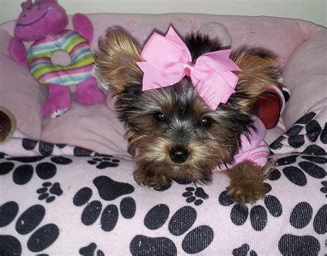 how is my yorkie cierra my yorkie by denisegarbis on deviantart