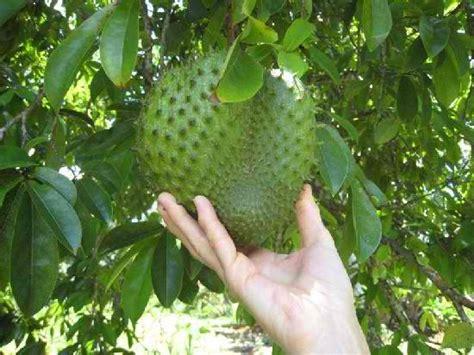 g fruit guanabana soursop annona muricata e g plottpalmtrees