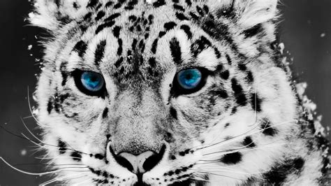 black and white leopard wallpaper white leopard wallpapers wallpaper cave