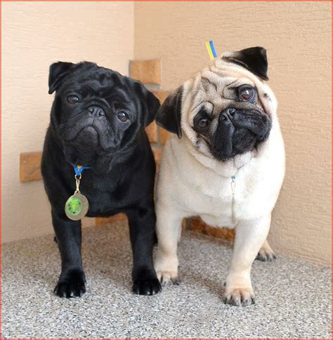 black and fawn pug 25 best ideas about black pug on black pug puppies baby black pug and