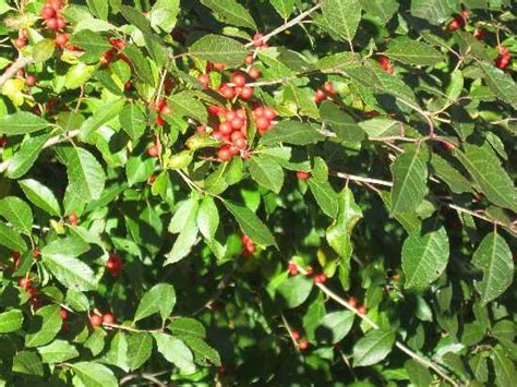 shrub with red berries identification
