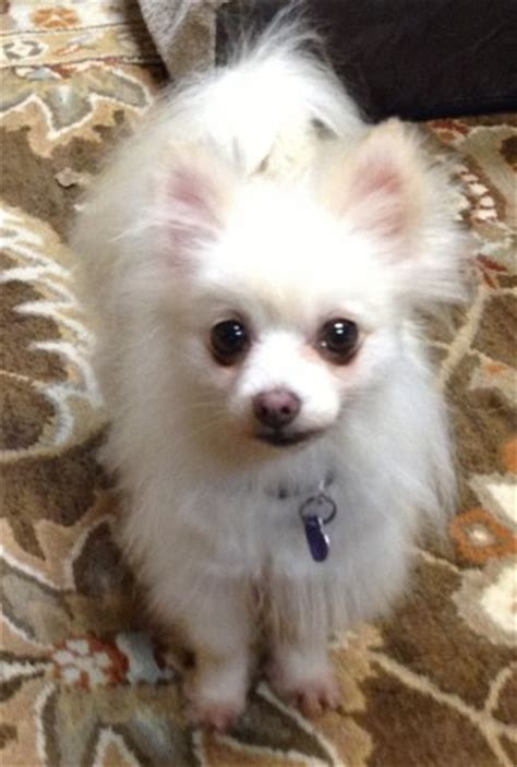 small breed puppies for sale in nashville tn pomeranian rescue tennessee breeds picture