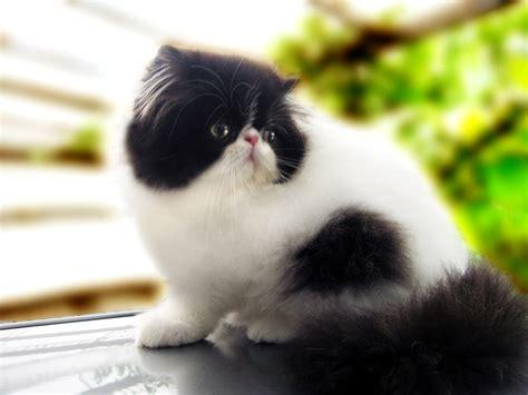 memelihara kucing persia tips memberi makan kucing persia 9 cara mudah murah merawat kucing persia