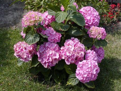 imagenes de jardines con hortensias hortensias