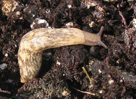 Slugs In Garden by Insecticides Foster Toxic Slugs Reduce Crop Yields