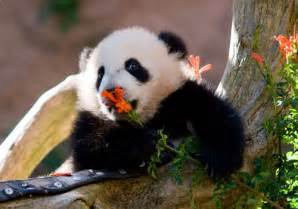 Bamboo Blind 22 Lovely Baby Panda Pictures Creativefan