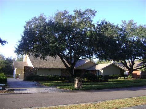 live tree sales buy live oak trees for sale in orlando kissimmee