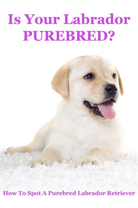 your purebred puppy is my purebred the labrador site