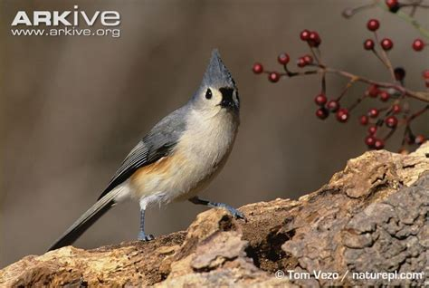 tufted titmouse videos photos and facts baeolophus