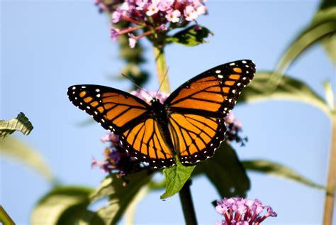monarch butterfly 11 facts about monarch butterflies butterfly grove inn