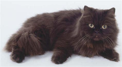 gatti persiani neri gatti di razza il gatto york chocolate petpassion