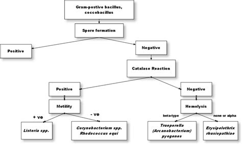 gram positive bacilli identification flowchart lab 4 coryne mycobacterium