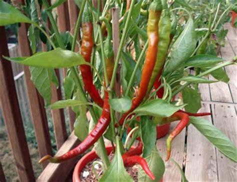 coltivazione peperoncino in vaso come coltivare il peperoncino
