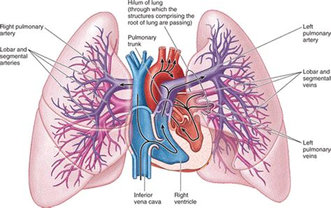 Essay On Pulmonary Circulation by Chapter Thorax Essay Medicine And Health Articles P On