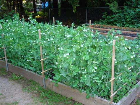 do sugar snap peas need a trellis 1000 images about intensive succession square foot