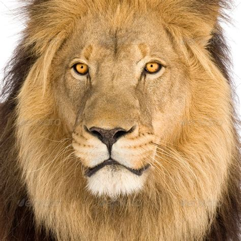 Auto Logo Tierkopf by Close Up On A Lion S Head 8 Years Panthera Leo Stock