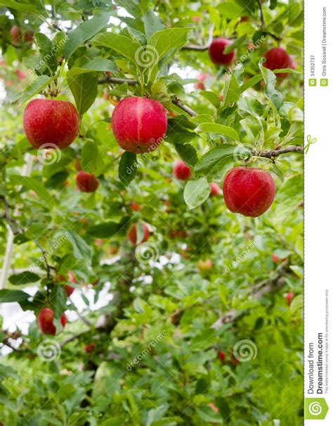 vertical fruit trees vertical composition apples growing eastern washington