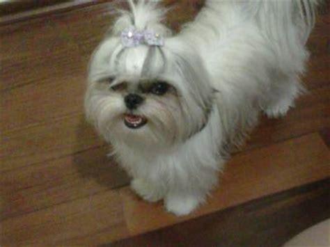shih tzu alaska shih tzu femea cachorros animais de estima 231 227 o