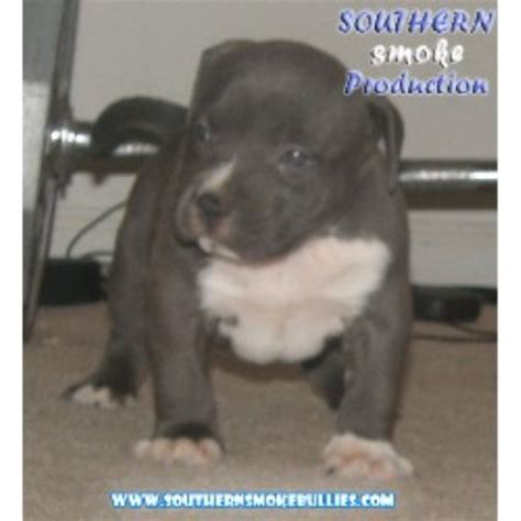 how much does a pit cost how much does a southern smoke bully pitbull cost
