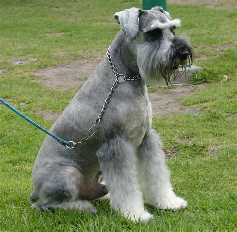 pictures of schnauzer puppies sitting schnauzer standard photo and wallpaper beautiful sitting schnauzer