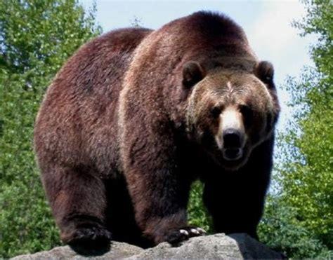 imagenes de leones y osos ranking de los 13 animales carnivoros mas peligrosos del
