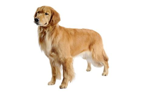 food for golden retriever golden retriever purina
