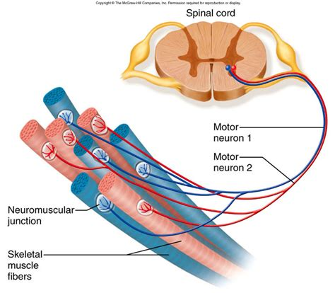 what is motor unit kin450 neurophysiology spasms