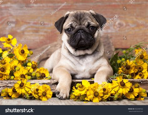pugs and roses pug puppy flowers stock photo 552290722