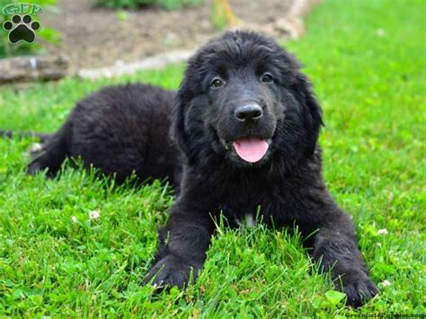 newfoundland puppies for sale in ohio nifty newfoundland puppies puppies club puppies for sale