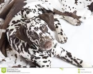 dalmatian dog puppy stock photography image 29720082