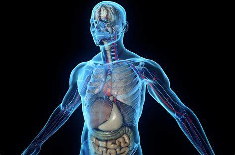 the human body human body tissues organs skeleton hd wallpaper
