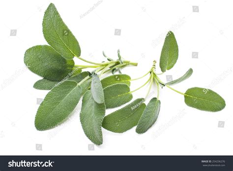 hanging bunches of fresh spicy herbs isolated on white bunch fresh sage herb isolated on stock photo 254236276