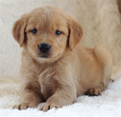 golden retriever puppies for free adoption golden retriever puppies ready for adoption pets for