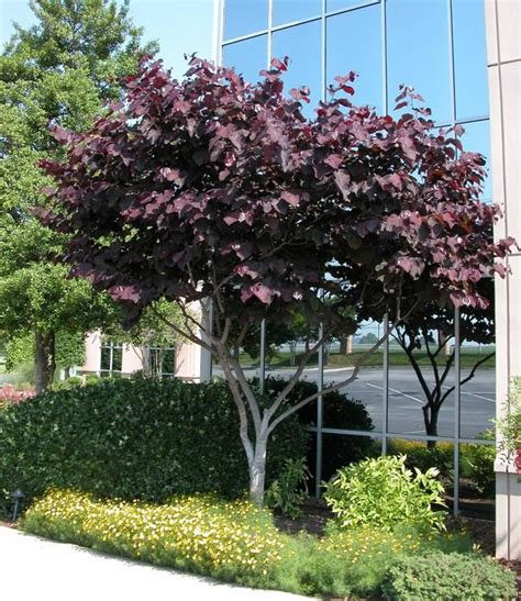 Pansy Garden Ideas Forest Pansy Redbud Tree Growth Rate Landscaping Without Grass Trees Forests